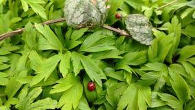Маленькие ladybugs вползают на новых зеленых листьях весной на солнечный день и получают готовыми лететь видеоматериал