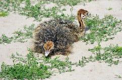 Маленькие ostrichs Стоковое Изображение RF