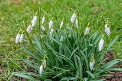 Маленькие snowdrops растут в луге стоковое изображение rf