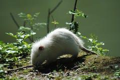 Маленький белый грызун стоковое изображение