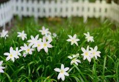 Маленький белый цветок в саде Стоковая Фотография RF