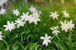 Маленький белый цветок в саде Стоковые Фотографии RF