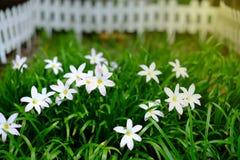 Маленький белый цветок в саде Стоковое Фото