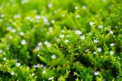 Маленький белый цветок в саде Стоковые Изображения