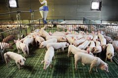 Маленький домочадец свиней на сельском скотном дворе Стоковые Изображения RF