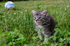 маленький енот Мейна котенка поднял ногу над клевером и травой первая прогулка здорового catus кошки Кот среди цветков Mei-kun пе Стоковое фото RF