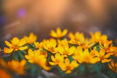 Маленький желтый лютик зацветая, полевые цветки на заходе солнца стоковые фотографии rf