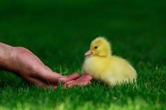 Маленький желтый утенок Стоковые Фото