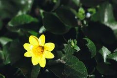 маленький желтый цветок стоковые фотографии rf