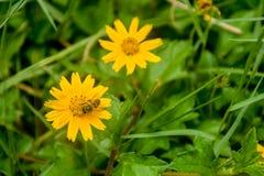 Маленький желтый цвет цветет пчела меда Стоковая Фотография