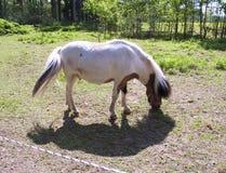 Маленький запятнанный пони пася в луге внутри загородки Стоковое Изображение RF