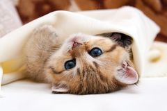 Маленький золотой великобританский котенок лежа вверх ногами предусматриванный с одеялом и взглядами на камере стоковые изображения