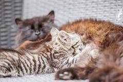 Маленький котенок всасывая маму молока и кота Стоковые Фотографии RF