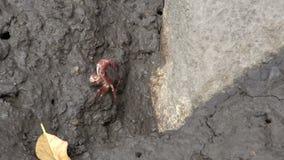 Маленький красный краб идя на грязь и утесы в полете приставают к берегу, Квинсленд, Австралия видеоматериал
