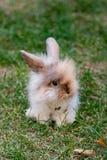 Маленький красный кролик стоковые изображения rf