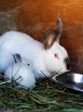 Маленький кролик и кролик матери Стоковое фото RF
