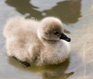 маленький лебедь Стоковые Изображения