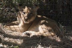 Маленький лев лежит на траве Стоковые Фото