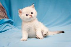 Маленький милый великобританский цвет пункта цвета котенка с усаживанием голубых глазов смешным на голубой предпосылке стоковая фотография