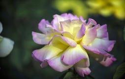 Маленький муравей на цветении цветка розы Стоковые Изображения