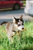 Маленький осиплый щенок собаки на прогулке Стоковая Фотография RF