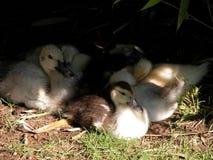 Маленький парк утки стоковое изображение