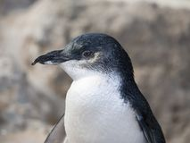 Маленький пингвин на острове пингвина, западной Австралии Стоковое Изображение
