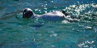 Маленький пингвин принимая заплыв Стоковые Изображения RF