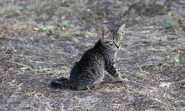 Маленький серый котенок стоковое изображение rf