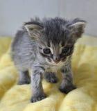 Маленький серый котенок newborn Стоковое Изображение RF