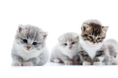 Маленький серый пушистый прелестный котенок смотря прямо к камере с красивыми голубыми глазами пока другие представляя в Стоковые Изображения