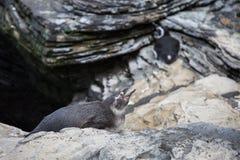 Маленький серый щенок африканского пингвина, spheniscus Demersus, также известного как пингвин Jackass Стоковые Изображения