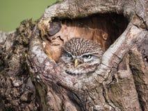 Маленький сыч садить на насест дальше на стволе дерева стоковое фото