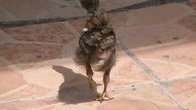 Маленький цыпленок идя в улицу сток-видео