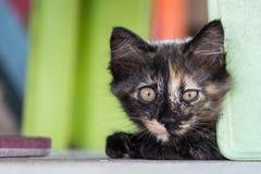 маленький черный коричневый котенок лежит вниз на поле и смотреть камеру Стоковое фото RF