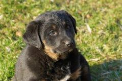 Маленький черный коричневый щенок сидит в зеленой траве в парке стоковые фотографии rf