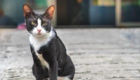 Маленький черный кот при белый кот помех метки воротника сидя на жулике стоковое фото rf