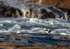 Маленький чистиковые, черно-белая птица лежа в волнах в море около побережья стоковое изображение
