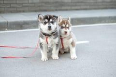 Маленький щенок сибирской лайки 2 внешний стоковая фотография