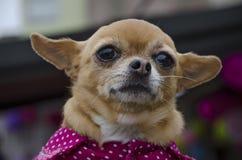 Маленький щенок чихуахуа стоковые изображения rf