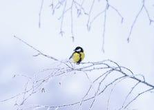 Маленький chickadee птицы в парке зимы сидит на крышке ветвей Стоковое Изображение