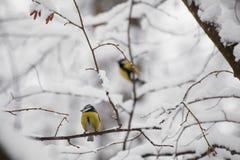 Маленький chickadee птицы сидя на ветви Стоковое Изображение