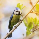 Маленький chickadee сидя на ветви в парке в предыдущем sprin Стоковая Фотография RF