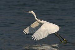 Маленький Egret стоковое фото rf