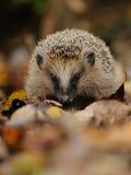 Маленький Hedgehog Стоковое Изображение