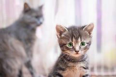 Маленький striped котенок с зелеными глазами сидит около ее ` s матери Стоковая Фотография RF