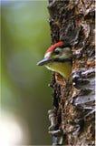 маленький woodpecker Стоковые Фотографии RF