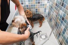 2 маленьких влажных милых и красивых чистоплеменных собаки йоркширского терьера в ванне купая и моя селективный фокус Стоковые Изображения