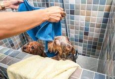 2 маленьких влажных милых и красивых чистоплеменных собаки йоркширского терьера в ванне купая и моя селективный фокус Стоковое Изображение RF