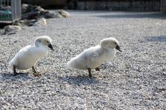2 маленьких дет лебедя идя на каменистый путь Стоковое фото RF